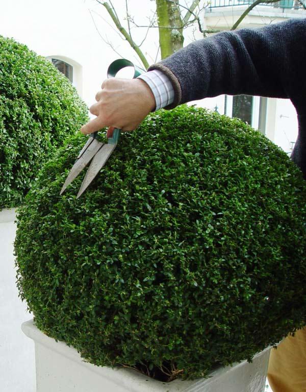 buchsbaum schneiden buchsbaum schneiden die besten scheren und ger te ber ideen zu buchsbaum. Black Bedroom Furniture Sets. Home Design Ideas