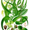 Eucalyptus_globulus_Wikipedia_Koehler–s_Medizinal-Pflanzen-147
