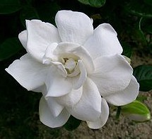 gardenia jasminoides1 wikipedia kenpei. Black Bedroom Furniture Sets. Home Design Ideas