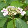 Hydrangea_macrophylla_Wikipedia_Kurt_Stueber