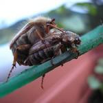 Junikäfer bei der Paarung © Wikipedia/ Querdenk