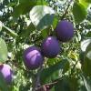 Pflaume_Prunus_domestica_Wiki_Yamamaya