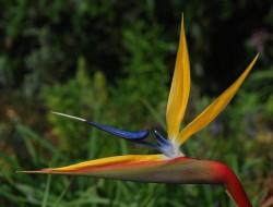 Strelitzia reginae Paradiesvogelblume