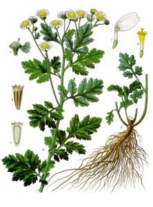 Tanacetum_parthenium_-_Köhler–s_Medizinal-Pflanzen-036