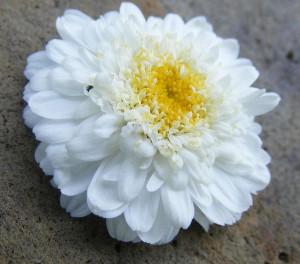 Tanacetum_parthenium_Blüten_gefüllt_Zierform