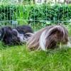 Meerschweinchen lieben den Auslauf im Garten | © phlora.de / Torsten Meise