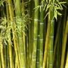 Bambus_by_daniel stricker_pixelio.de