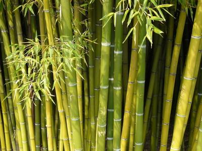 bambus erfroren oder vertrocknet. Black Bedroom Furniture Sets. Home Design Ideas