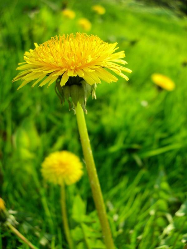 dandelions on the meadow