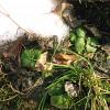 Schnee_und_Pflanzen_Wikipedia_Huschi