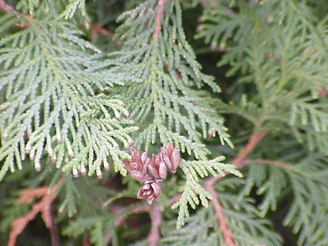 Thuja_occidentalis_Gdfl_Wikipedia
