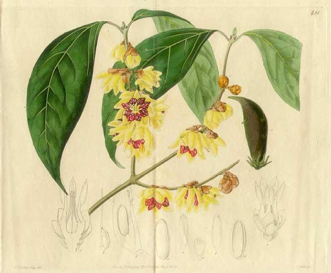 Winterblüte_Illus_Wikipedia_gemeinfrei