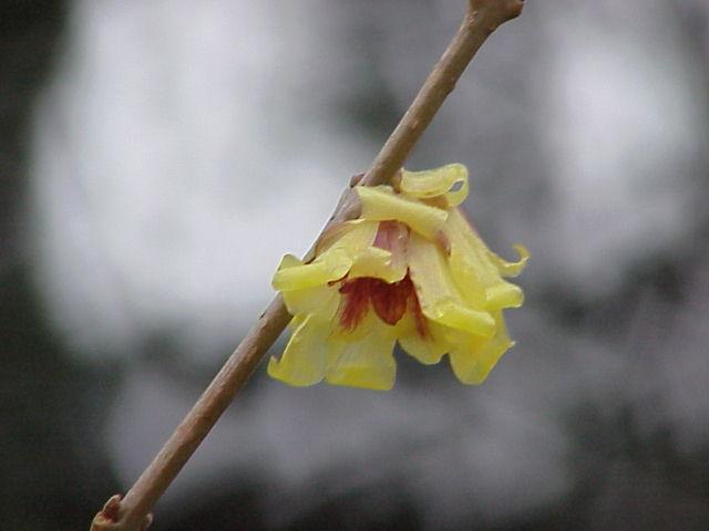Winterblüte_Wikipedia_Gfdl