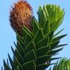 Araucaria_araucana_Wikipedia_H.Zell