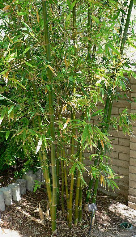 Bambus_Wikipedia_Stan Sheps