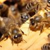 Bienen: Greenpeace fordert Pestizid-Verbot | © Fotolia