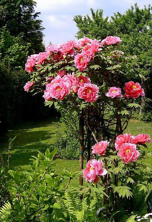 Ruhe, guter Boden, kein Zug – dann klappt es auch mit der Blüte bei Strauchpäonien<br /> Foto: Wikipedia, Dumi