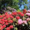 Rhododendronpark_BremenWikipedia_Syker_Fotograf