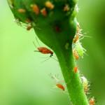 Blattläuse bei der Arbeit | © Fotolia