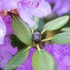 Schwarze Knospen am Rhododendron | © phlora.de