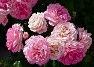 Gefüllte Rosenblüten wirken üpping und geradezu barock   © pixelio / Florentine