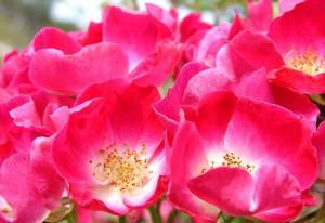Wildrosencharakter: Einfache, ungefüllte Blüten sind besser für die Tierwelt © Wikipedia   Aussiegall