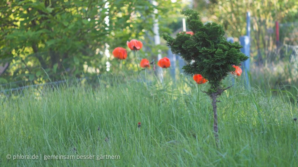 Kaninchenfraß: Bis auf den Stamm abgenagt | © phlora.de