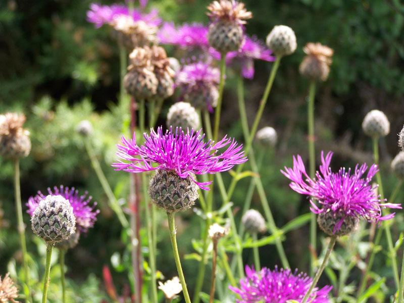 Wiesenflockenblumen ziehen im Spätsommer Distelfalter an. Sie blühen teilweise bis in den Oktober hinein. | © fotolia