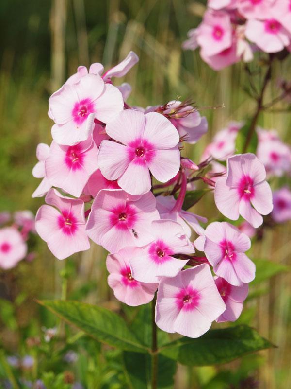 Phlox heißt übersetzt Flamme, und bei dieser leuchtenden Blütenpracht hätte der Name kaum treffender gewählt sein können. Eine Mischung aus verschiedenfarbigem Phlox entfacht ein wahres Farbfeuerwerk im Beet. | © fotolia