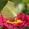 Der strahlend gelbe Zitronenfalter ist noch häufig in unseren Gärten zu Gast. | © fotolia