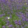 Lavendel | @ phlora.de