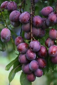 Pflaumen erkennt man an der Fruchtnaht und der runden Spitze | © pixelio.de/Steff Pelz