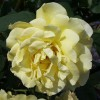 Rose_Golden_Gate_(Kordes_2005)_Wikipedia_huhu