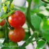 Die resten reifen Tomaten!