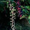 Kermesbeere_Phytolacca_americana_Wikipedia_Stefan Lefnaer