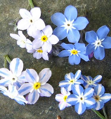 Mendelregel_F2_Wikipedia_S. Metzing-Blau