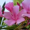Oleander_Wikipedia_gemeinfrei