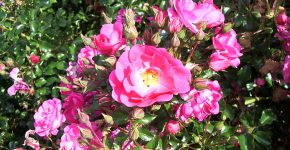 Rose_Neon_(Kordes_2001)_Wikipedia_Huhu