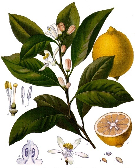 Citrus_x_limon_Wikipedia_Köhler