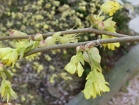 Hellgelbe Blütenkelche und lieblicher Duft: Glockenhasel<br /> © Wikipedia | Kenpei