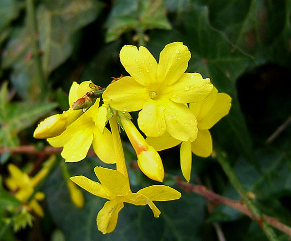 Winterjasmin_Jasminum_nudiflorum_Wikipedia_Wildfeuer