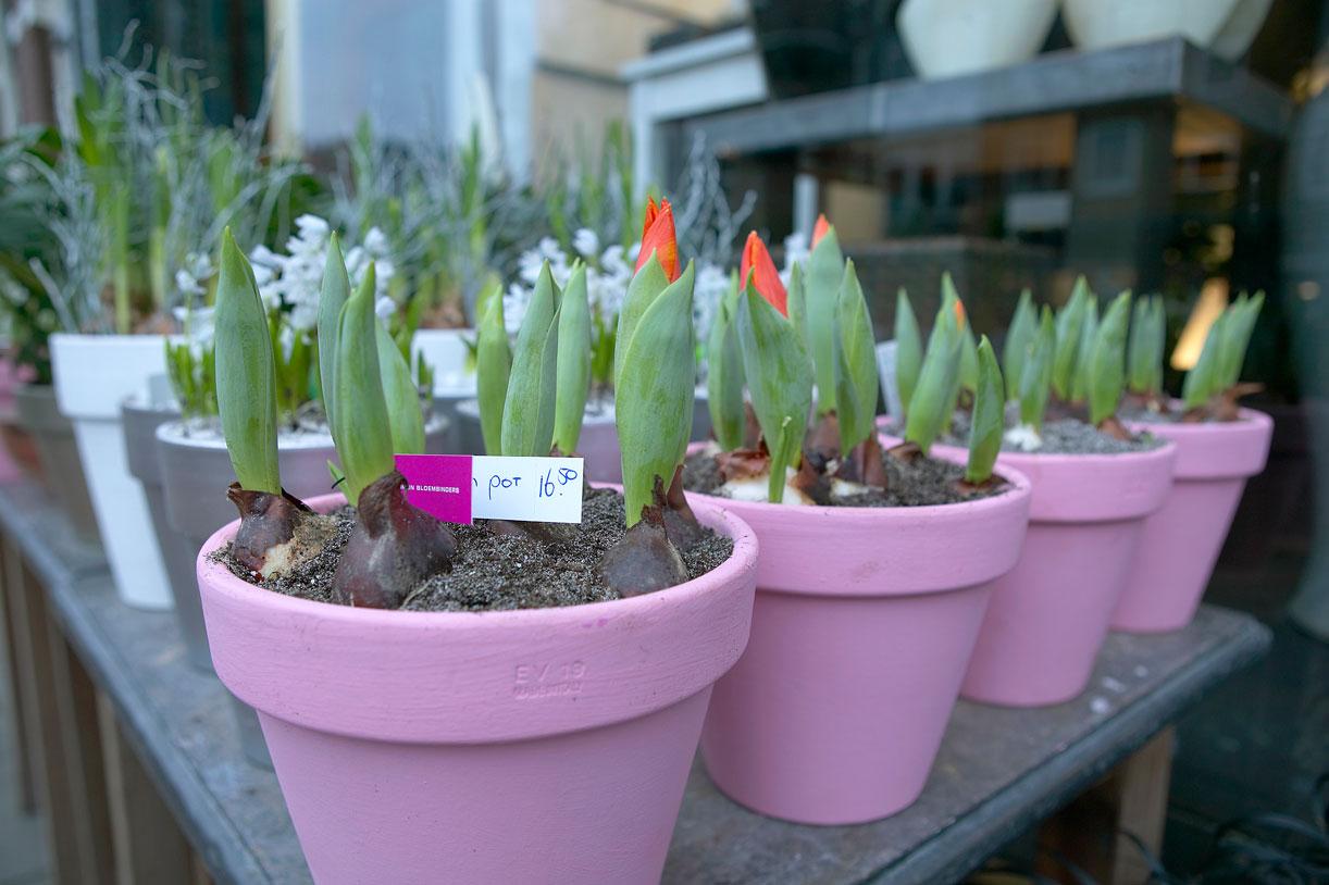 Vorgezogene Frühlingsblüher | Foto: Blumenbüro Holland