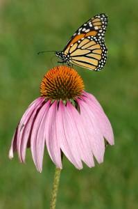 Auch Schmetterlinge lieben den Sonnenhut | © Jessica Bethke – Fotolia.com