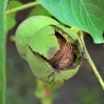 Walnuss_480px-Walnut's_Home_Takkk_Wikipedia