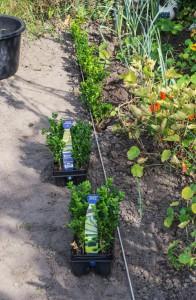 Eine gespannte Leine hilft, die Pflanzen in einer Reihe anzuordnen | Foto: phlora.de