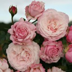 Märchenrose: Rosenfaszination von Kordes Rosen