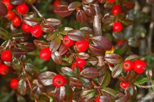 Zwergmispel: Im Herbst extra hübsch mit Beeren und schöner Blattfärbung © Wikipedia | Hectonichus