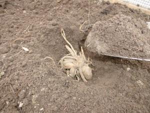 Die Knollen richtig herum in das ca. 10 cm tiefe Pflanzloch legen.
