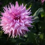 Schmuck-Dahlie American Dream   Foto: phlora.de