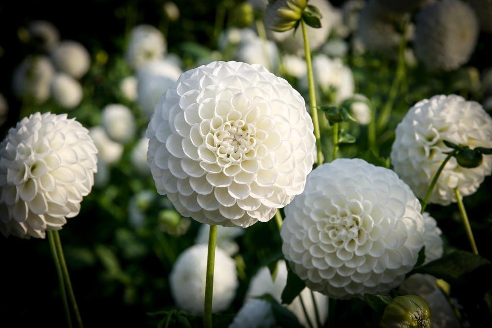 Themenschwerpunkt Dahlien: Pflanzen, Pflegen, Länger Blühen Lassen ... Dahlien Tipps Pflanzen Pflegen